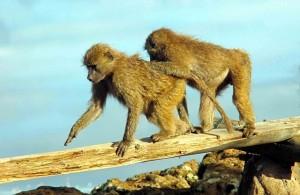 scimmie Tanzania