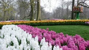 Olanda, pedalando fra i fiori