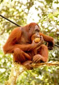 Borneo, Orang utang