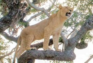 leonessa Zimbabwe