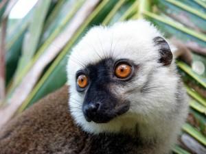 lemure, Madagascar