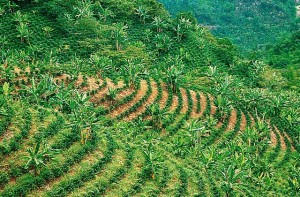 piantagioni caffè