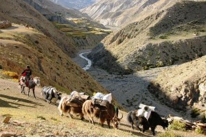 Dolpo carovane yak